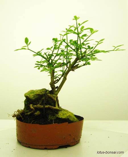 Lotus bonsai studio france - Jasmin blanc d hiver ...