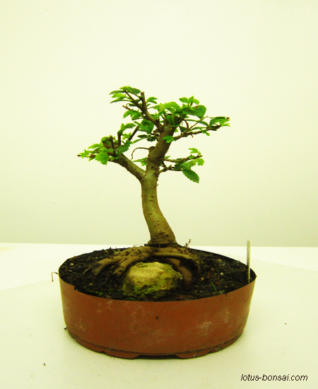 Lotus bonsai studio france - Orme de chine bonsai ...