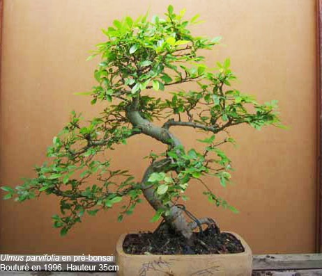 Index of prebonsai index - Orme de chine bonsai ...